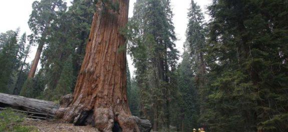 Incendios en California rozan el árbol más grande del mundo