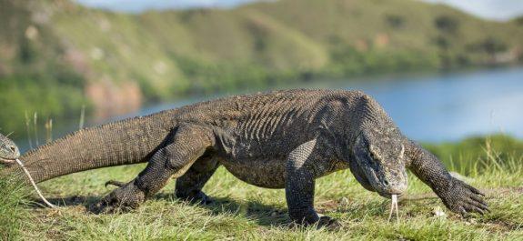 Declaran al dragón de Komodo animal en peligro de extinción